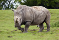White rhino running a in a field Royalty Free Stock Photo