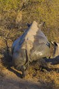 White rhino scratching after mud bath ticks off Stock Images