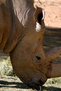 White Rhino (South Africa) Stock Photography