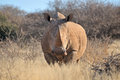White rhino southern in grass field surrounded by thorn bushes Stock Photography