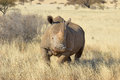 White rhino southern in grass field surrounded by thorn bushes Royalty Free Stock Images