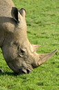 White rhino southern grazing in a green grass field Stock Photo