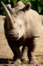 White rhino the or square lipped or rhinoceros ceratotherium simum is the largest species of rhinoceros existing it has a wide Royalty Free Stock Photography