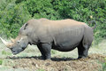 White rhinoceros Royalty Free Stock Photos