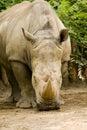 White Rhinoceros - Ceratotherium simum Royalty Free Stock Photography