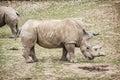 White rhinoceros - Ceratotherium simum simum - side view Royalty Free Stock Photo