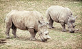 White rhinoceros (Ceratotherium simum simum), two animals Royalty Free Stock Photo
