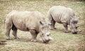 White rhinoceros (Ceratotherium simum simum), two animals