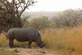 White rhinoceros ceratotherium simum or square lipped in kruger national park south africa Stock Image