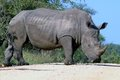 White rhinoceros ceratotherium simum or square lipped in kruger national park south africa Stock Photo