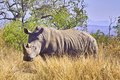 White rhinoceros ceratotherium simum or square lipped in kruger national park south africa Royalty Free Stock Photos