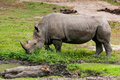 The white rhinoceros ceratotherium simum or square lipped is largest and most numerous species of that Royalty Free Stock Photo