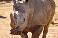 White rhinoceros ceratotherium simum watching closeup Royalty Free Stock Photo