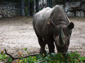 A white rhinoceros eating leaves Royalty Free Stock Photo