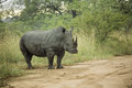 White rhinoceros endangered from south africa Royalty Free Stock Image