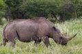 White rhinoceros at etosha national park namibia africa Royalty Free Stock Photos