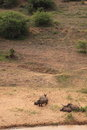 White rhinoceros family sleeping wild rhino resting on a riverbank in the national park hluwhluwe imfolozi in kwazulu natal in Royalty Free Stock Photos