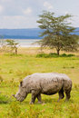 White rhinoceros grazing at lake Baringo, Kenia Royalty Free Stock Images