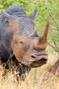 White rhinoceros kruger national park south africa head Stock Photography