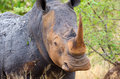 White rhinoceros kruger national park south africa with horn Stock Image