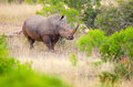 White rhinoceros kruger national park south africa in the meadow Stock Images