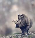 White rhinoceros portrait of adult Stock Photos