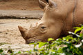 White Rhinoceros resting on the ground. Royalty Free Stock Images