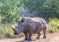 White Rhinoceros in the Savannah at Hlane Royal National Park Royalty Free Stock Photo