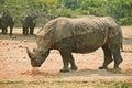 White rhinoceros soiled in dirt Royalty Free Stock Photo