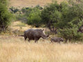 White rhinoceros a in south africa Royalty Free Stock Photo