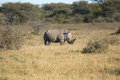 White rhinoceros a in south africa Royalty Free Stock Images
