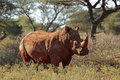 White rhinoceros square lipped ceratotherium simum south africa Stock Images
