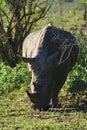 A white rhinoceros Ceratotherium simum in Hluhluwe–iMfolozi Park, South Africa Royalty Free Stock Photo