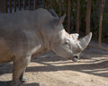 White rhinoceros or square lipped rhinoceros ceratotherium simum the is the largest and most numerous species of that Stock Image