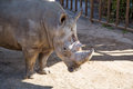 The white rhinoceros or square lipped rhinoceros ceratotherium simum is largest and most numerous species of that Stock Images