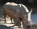 White rhinoceros or square lipped rhinoceros ceratotherium simum is the largest and most numerous species of that Stock Photos