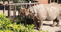 White rhinoceros or square lipped rhinoceros ceratotherium simum is the largest and most numerous species of that Stock Photo