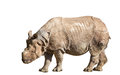 White rhinoceros or square lipped rhinoceros ceratotherium simum is the largest and most numerous species of that Royalty Free Stock Images
