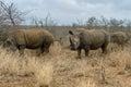 White rhinoceros or square-lipped rhinoceros in Hlane Royal National Park, Swaziland Royalty Free Stock Photo
