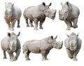 White rhinoceros, square-lipped rhinoceros isolated Royalty Free Stock Photo