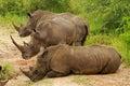 White rhinoceros Royalty Free Stock Photo