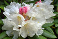 White Rhododendron Flowers in Spring Stock Photography