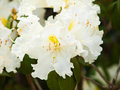 White Rhododendron  In Nature ...