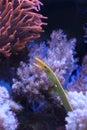 White ribbon eel Royalty Free Stock Photo