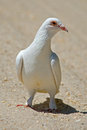 White Rock Pigeon Stock Image