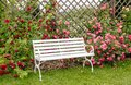 White romantic style park bench in lush colorful blossom rose garden in summer day. Royalty Free Stock Photo