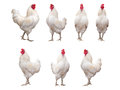 White Rooster, Cock or Chicken isolated Royalty Free Stock Photo