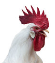 White rooster with a large red comb portrait of crowing wattles and earlobes isolated over Stock Images