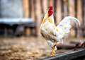 White rooster in the poultry yard on one foot Royalty Free Stock Photos