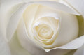 White Rose Stock Photography